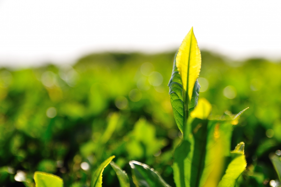 Fact Or Fiction Green Tea Benefits Your Eye Health My